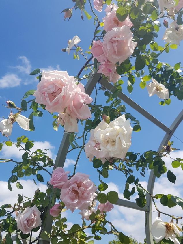 Chelsea Garden Show roses photo
